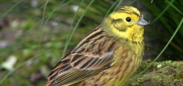 Presura galbenă - o pasăre pe cale de dispariţie