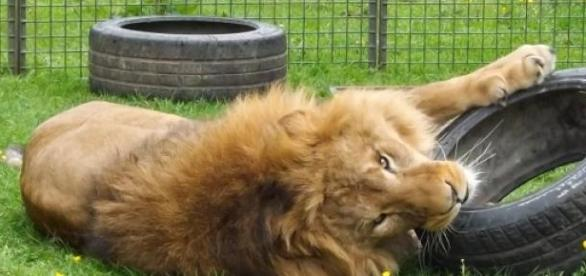 Tsavo, one of Thomas Chipperfield's lions.