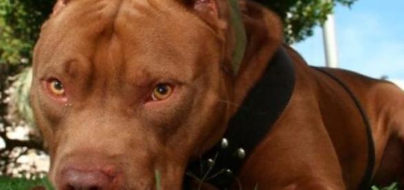 El pitbull es considerado una raza peligrosa
