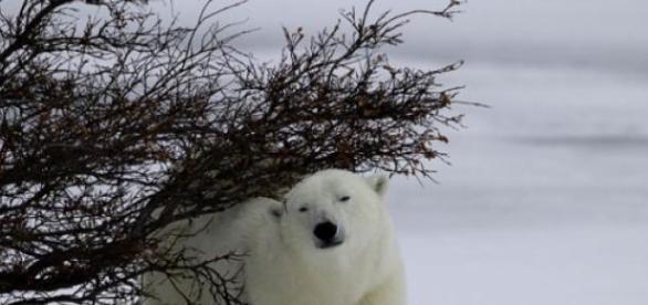 tundra arctica se incalseste, implicatii.