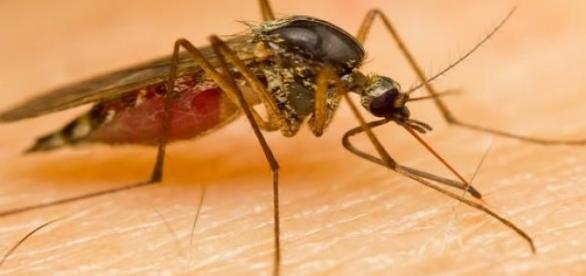 Biologii au studiat comportamentul țânțarilor