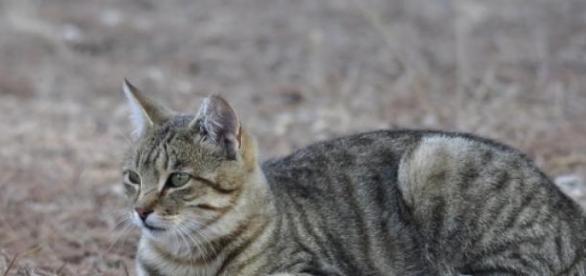 Los gatos montés y doméstico tienen gran similitud