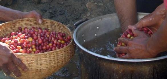 Ciężka praca na plantacji herbaty w Kenii.