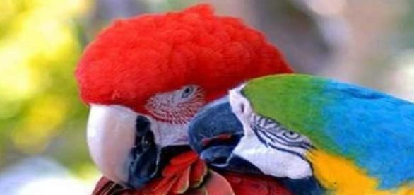 Arara colore a Amazônia com suas cores .