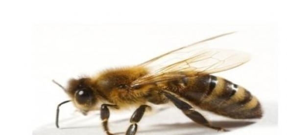 Creșterea albinelor este  fascinantă.