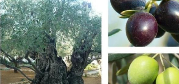 Drzewo oliwne i jego owoce - oliwki