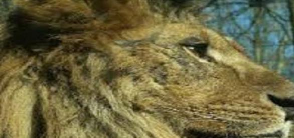 Cecil fue el león más famoso del mundo