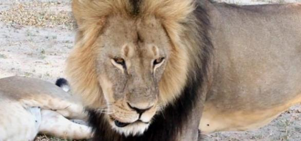 Cecil morreu 40 horas depois de ferido