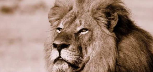 Este es el querido león Cecil.