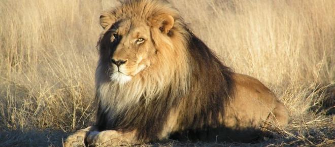 Jagd mit Pfeil und Bogen: Tötung des Löwen Cecil in Simbabwe löst weltweit Proteste aus