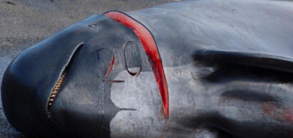 Mortes e sofrimentos brutais das baleias