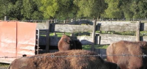 Stado bizonów w Kurozwękach. Fot. Krzysztof Krzak
