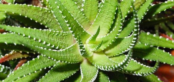 Aloe Vera e seus benefícios para o corpo.