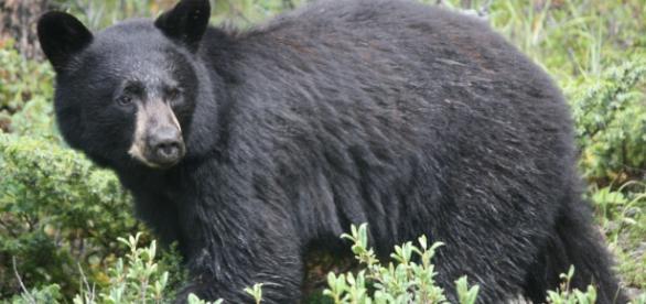 """""""Ursus Americanus"""", Urso-Preto ou Urso-Negro."""