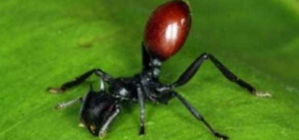 Las larvas de mariposa manipulan a las hormigas