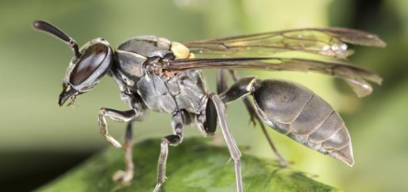 La Polybia, un género de avispa sudamericana