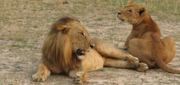 A caça por desporto continua a matar leões.