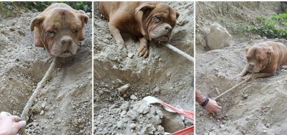 Catelusa Mastiff, îngropata de vie. Foto: Facebook
