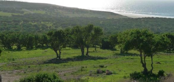 El árbol de argán, o Argania Spinosa