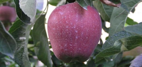 Manzana cubierta de pesticida lista para cosechar.