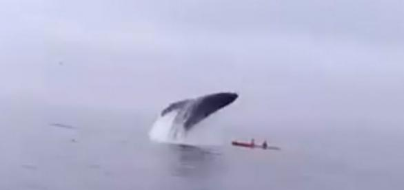 Ballena jorobada cae sobre un kayak con 2 turistas