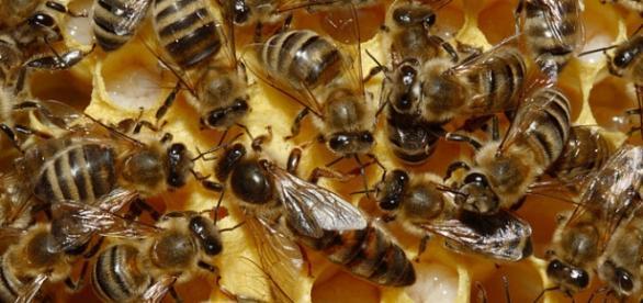 ¿Cuántas abejas utilizaría para su estudio?