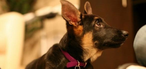 Zoey, filhote de pastor alemão. Esse é inocente