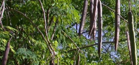 Planta minune va fi cultivată şi la Buzău
