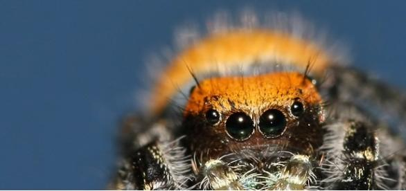 Păianjenii care te scapă de malarie!