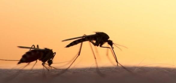 O mosquito aedes aegypti é o vetor da doença.