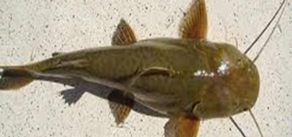 O Peixe bagre é encontrado em rios, lagos e mar.