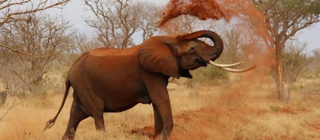 Cria de elefante sobrevive graças a um cão