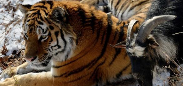 A amizade entre um tigre e um bode