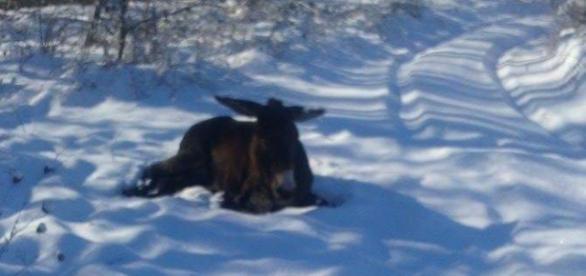 Măgăruşul găsit în zăpadă, salvat de la moarte