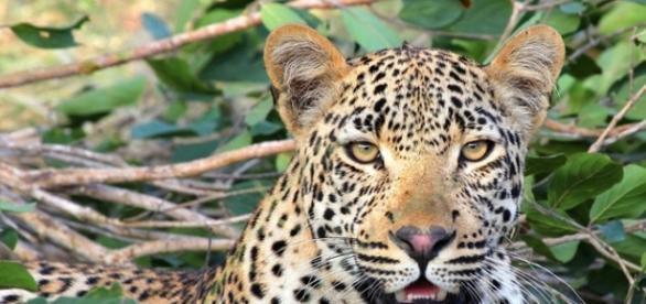 African leopard. Image courtesy of Pixabay