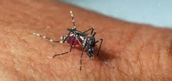 Mosquito Aedes aegypti/Fonte: Internet