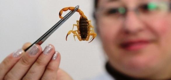 Escorpião amarelo brasileiro é venenoso.