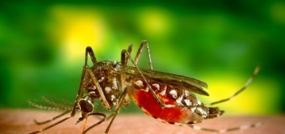 Imagens do mosquito transmissor