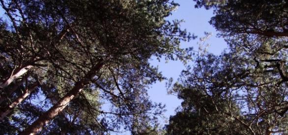 A la sombra de los pinos. Pinares LLanos (Ávila)
