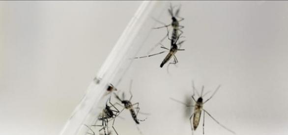Mosquito 'Aedes', transmissor da zika