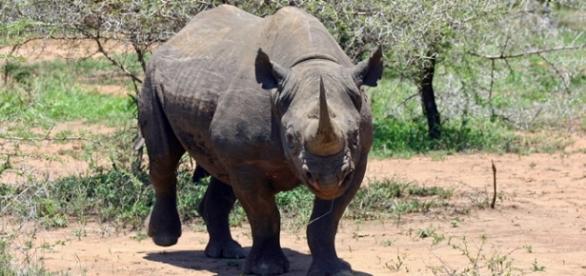 Black rhino in natural habitat. Pixabay commons