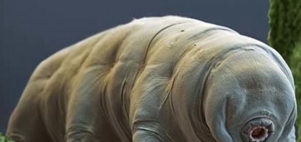 El tardígrado, animal antiquísimo, encierra interesantes secretos para el ser humano y su ansia de sacarle utilidad a todo