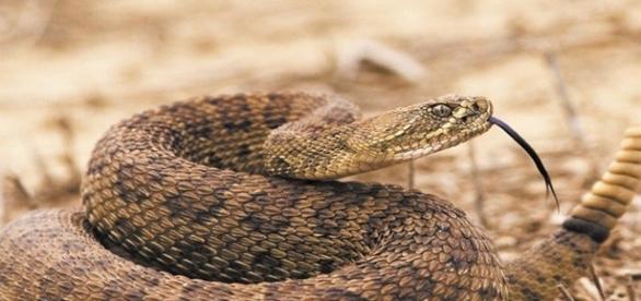 Imagem de uma cascavel, réptil considerado venenoso.