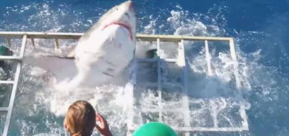Imagem de tubarão branco invadindo gaiola.