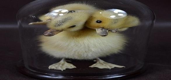 Pato de cinco cabeças empalhado dentro de um vidro