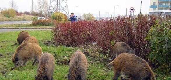Danni ai campi ed agli allevamenti per colpa di cinghiali, lupi e così via