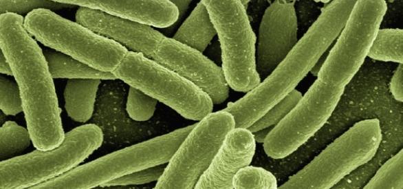 Microbioma. Bacterias Escherichia coli