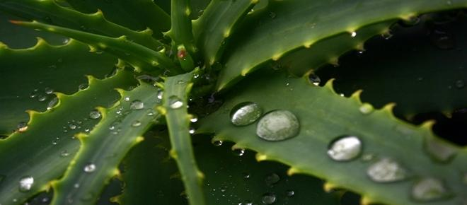 Aloes - cudowna roślina niemal na wszystkie dolegliwości