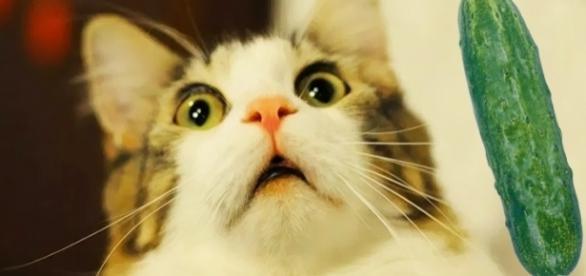 Vídeos de gatos se assustando com pepinos se tornaram virais.