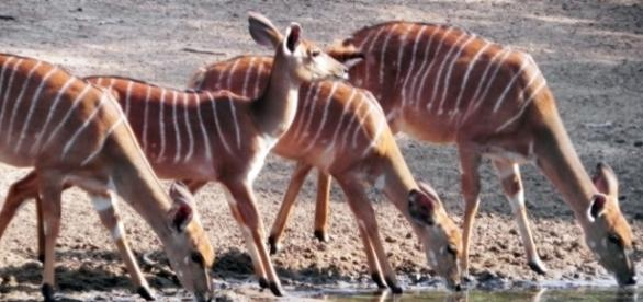 Nyala antelope uMkhuze / Photo by J. Flowers (own work)